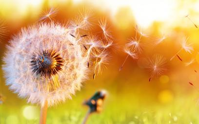 dandelion puff blowing in the wind